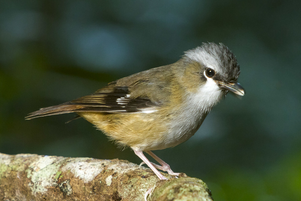 Grey-headed Robin - Heteromyias albispecularis