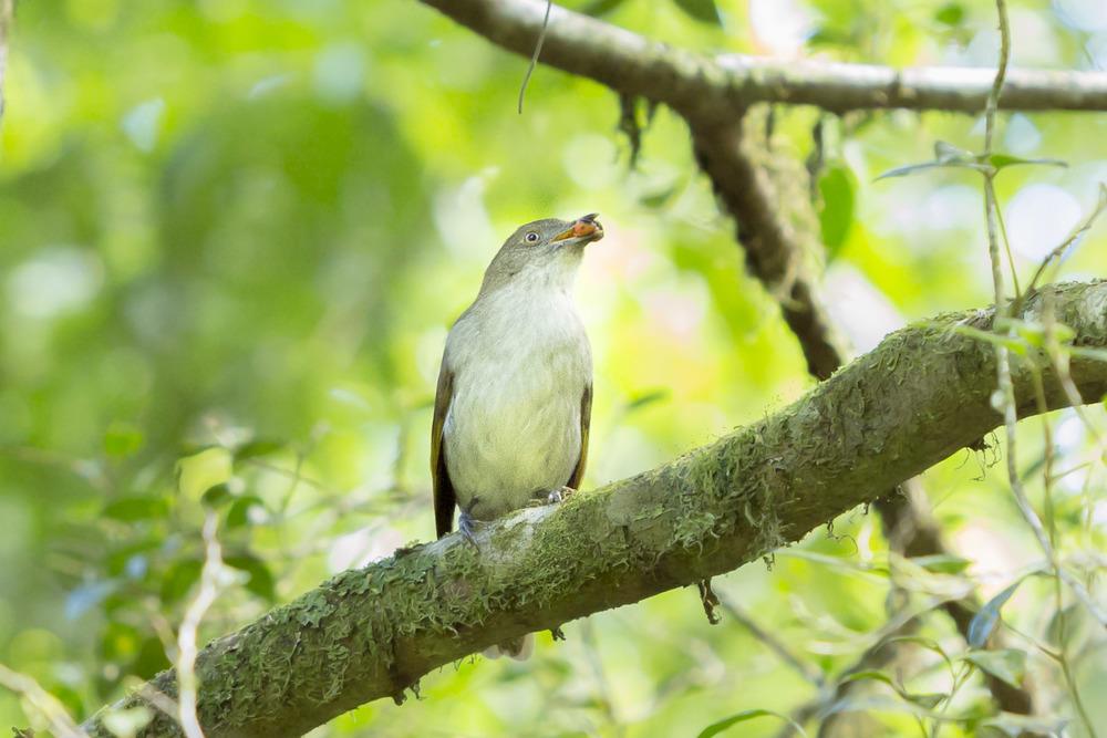 Golden bowerbird - Prionodura newtoniana