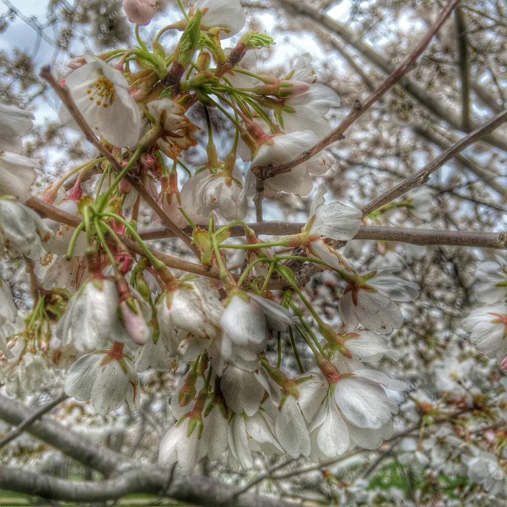 Trees blooming in New Albany, Ohio