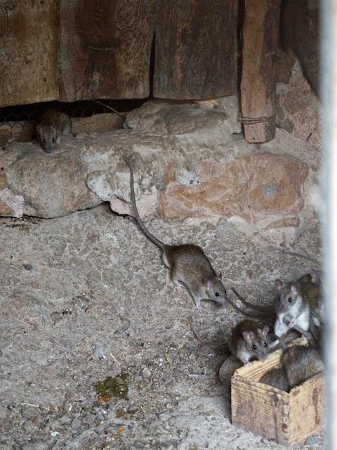 Ratas en gallinero, Masía la Giraba, Castellón.© Daniel Belenguer