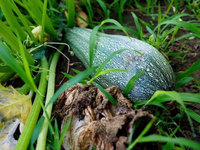 Calabacin, variedad temprana de Argelia, superproductiva, harto estoy de comer calabacín. © Daniel Belenguer