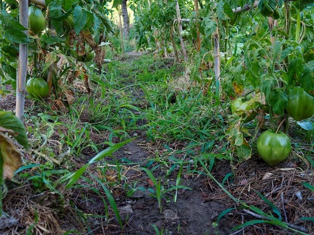 Interior de la cabaña de los tomates valencianos, la naturaleza tiene su propio orden aunque no lo entendamos.  © Daniel Belenguer