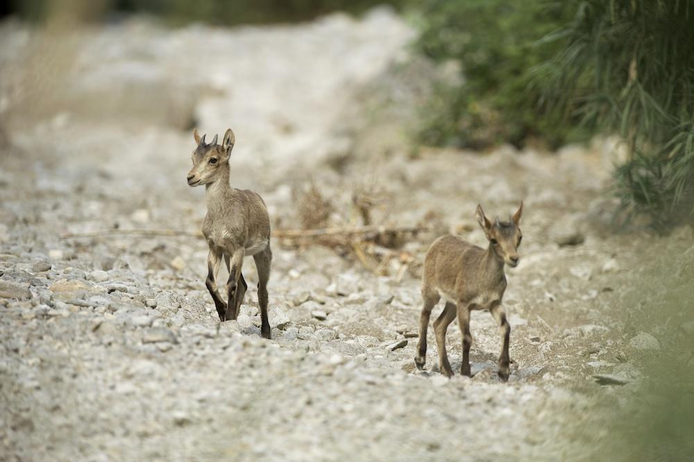 Cabras monteses. Argelita,Castellón