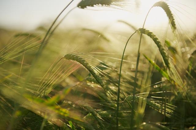 Campo de cereal en Titaguas. © Daniel Belenguer