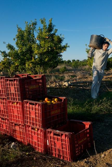 Recolección de mandarinas en un campo de Lliria. © Daniel Belenguer