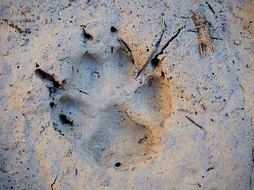 © Daniel Belenguer. Huella de zorro o perro, en el grupo de Muskari Rastros hubo diversidad de opiniones.