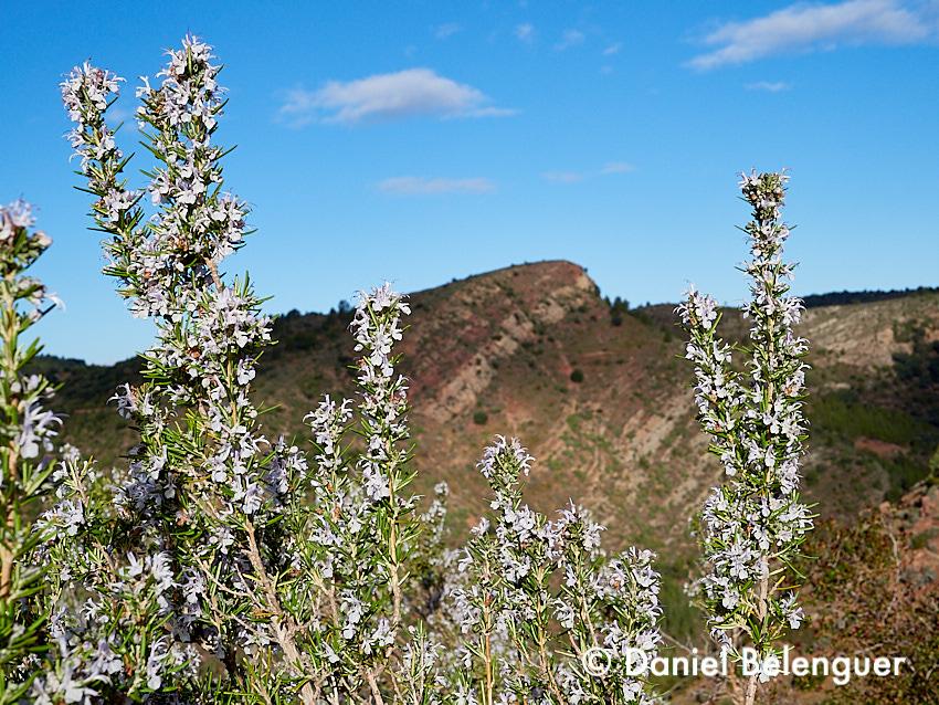 Floración del romero cerca de la Masía Reduela.