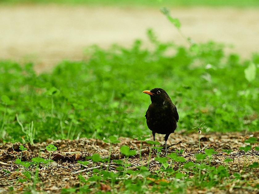 Mirlo buscando alimento en el suelo del parque.