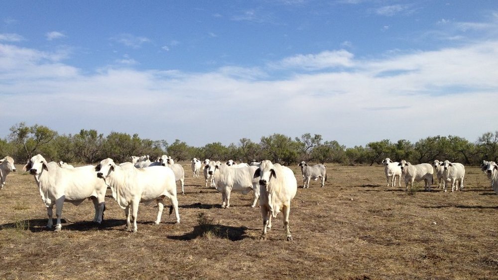 brahman-cattle-2.JPG