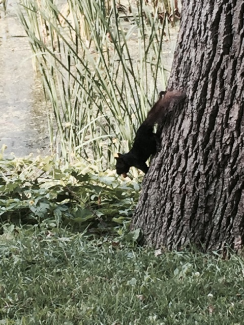 A black squirrel? New to me. Sterling didn't care what color they were – she found it fun to chase any color!