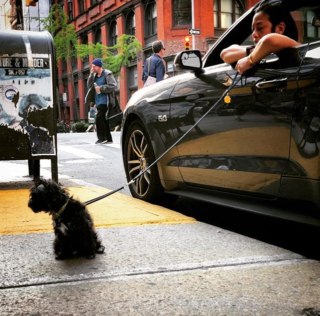 Curb that dog getting a walked by a 5.0 #nyc #maysummer #nycheat #nycsummer #manhattan #mustang #instadogs #dogs #yorkiesofinstagram #ilovenewyork