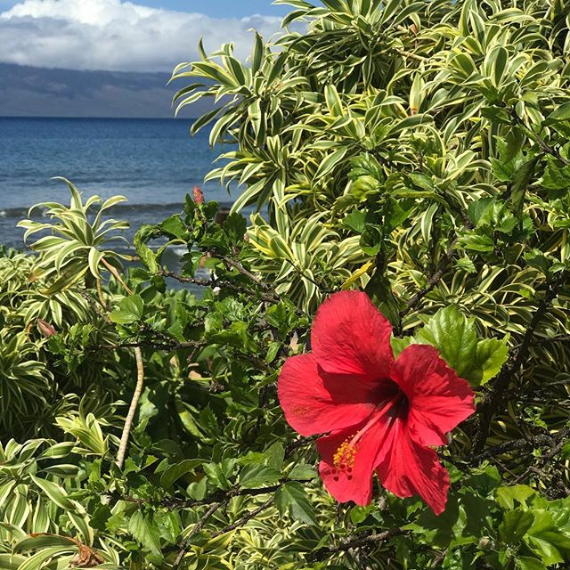Paradise 🌺🍍🌴 Concocting a plan for the Maui outpost of California Lustre! We love it here 😍 . . . #aloha #maui #heretodaygonetomaui #hibiscus #hawaiianvacation #alohabeaches #vacayvibes #vacayallday #californialustre #beachlife #getaway #hawaiitrip #flashesofdelight #abmlifeiscolorful #abmhappylife #abmtravelbug #lettheadventurebegin #makeyousmilestyle #livecolorfully #livethelittlethings #paradise #vacationmode #mauilife #beachtime #beachvibes #thatsdarling #wailea #naturalbeauty