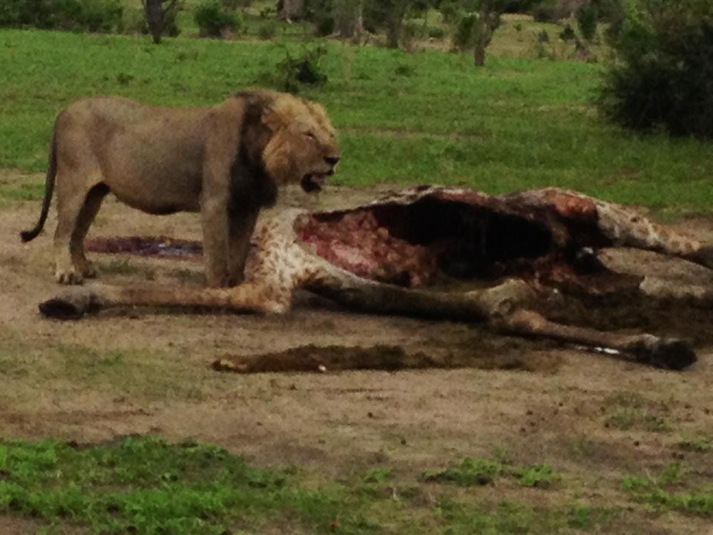 ... lion and zebra   kill ...