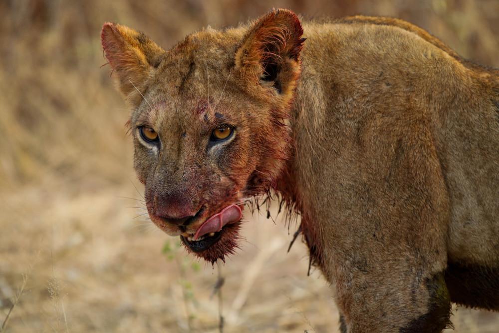 ... lioness ...