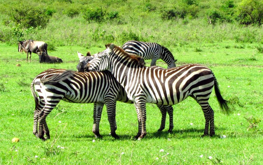 Zebras in Maasai Mara