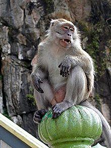 220px-Monkey_batu.jpg