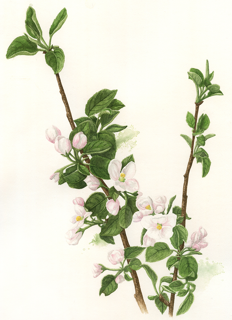 Apple Blossom.jpg