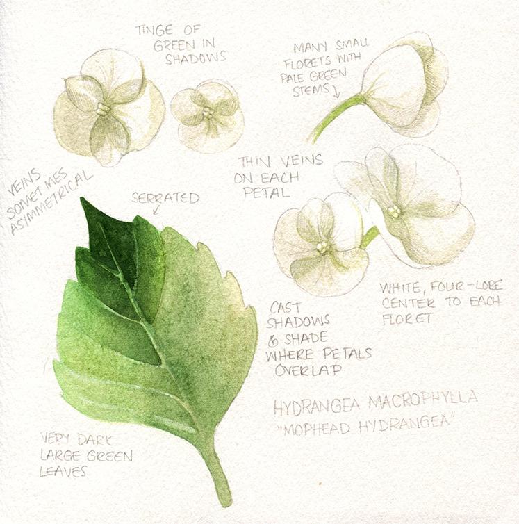 Hydrangea Sketch Scan 1.jpg