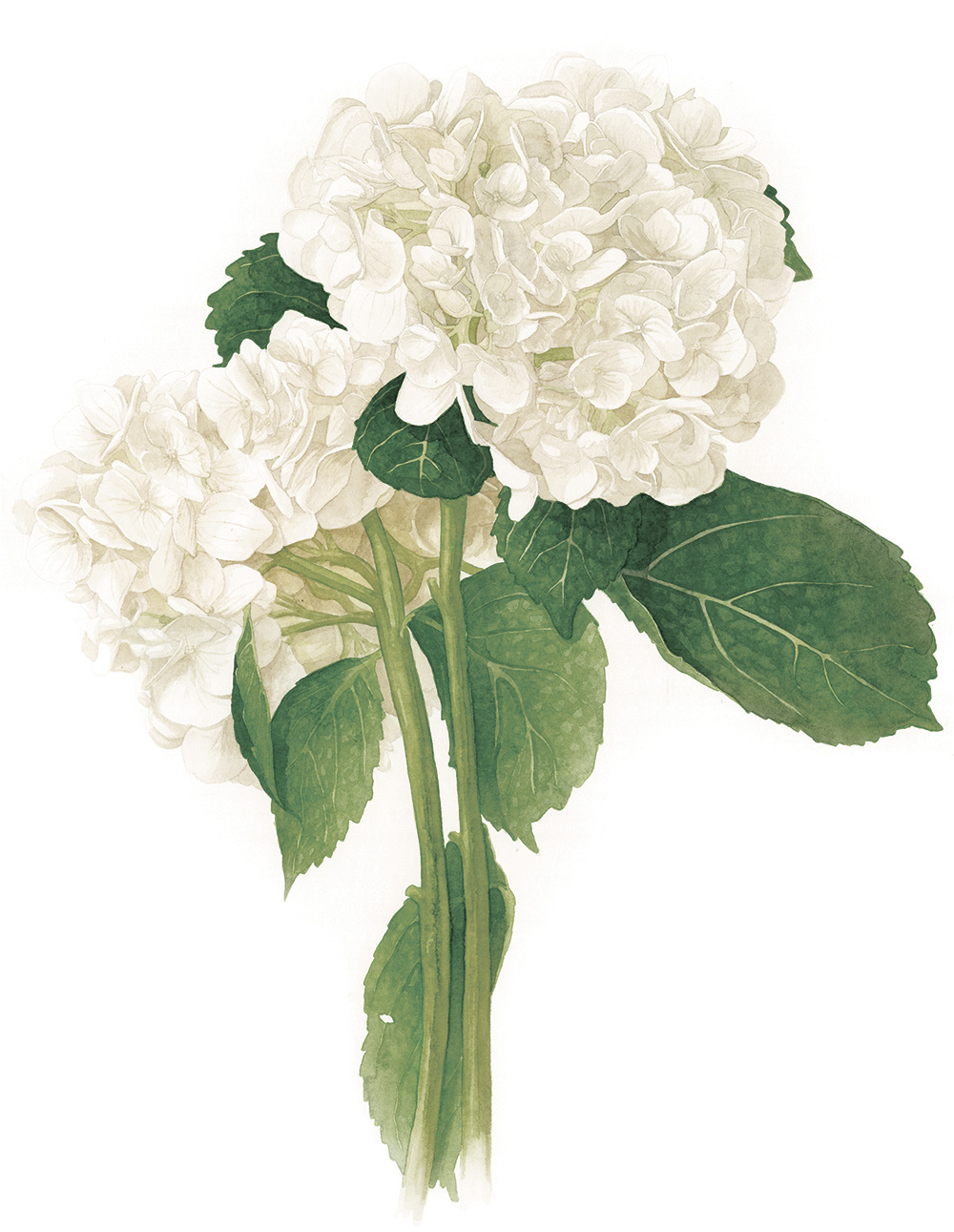 Hydrangea macrophylla botanical watercolour by Amanda Farquharson