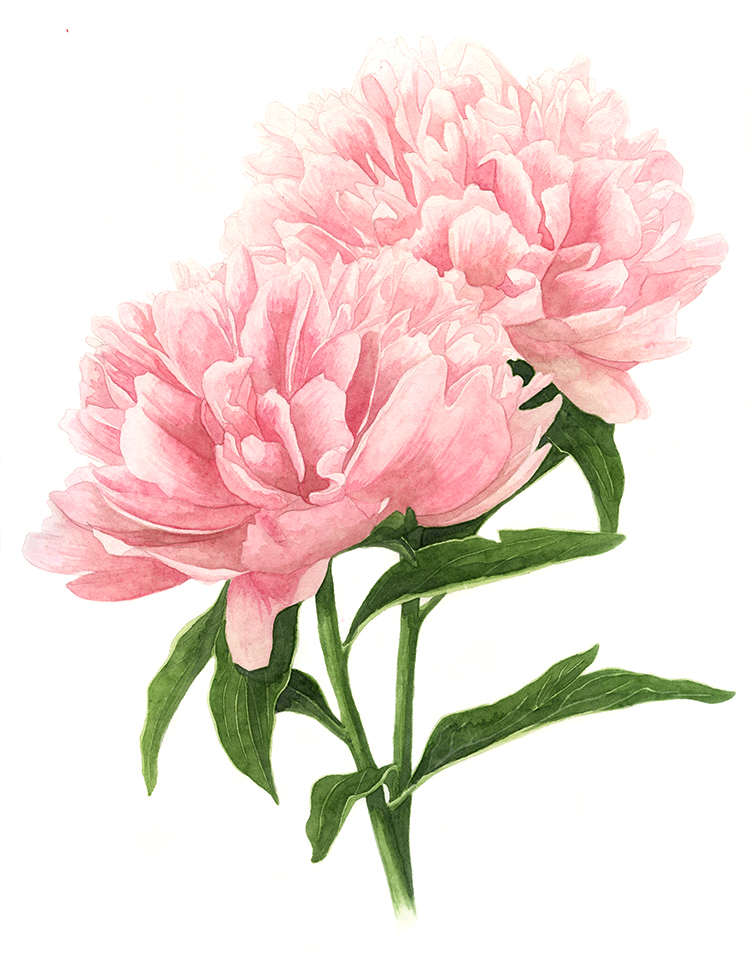 double pink peonies amanda farquharson free dog paw print clip art images free dog paw print clip art images