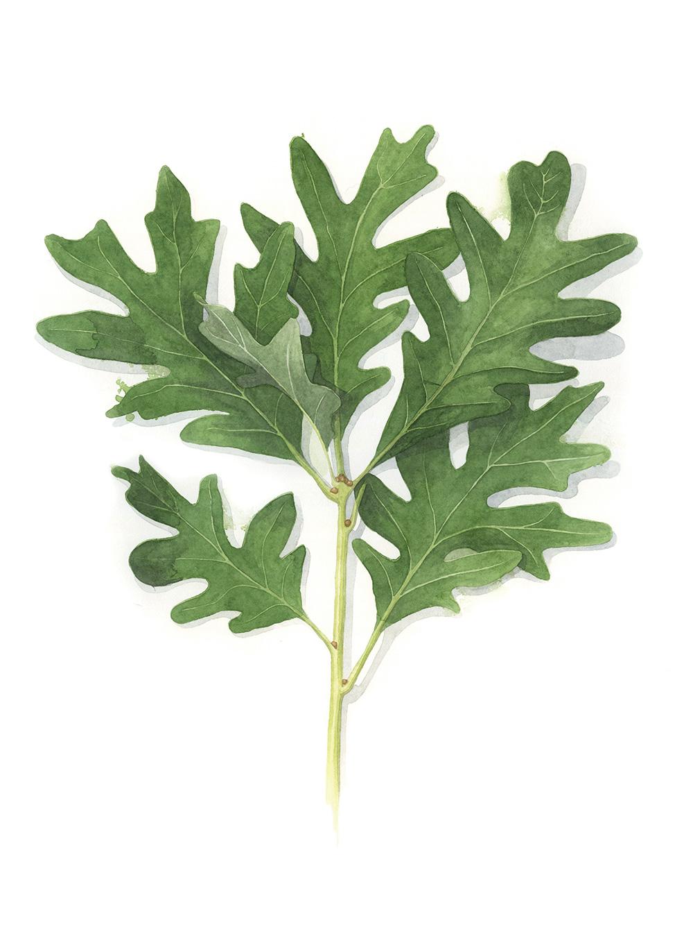 White-Oak-Leaf-AmandaFarquharson.jpg