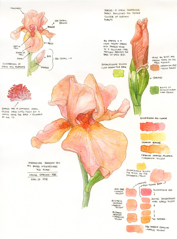 'Ask Alma' Intermediate Bearded Iris - by Amanda Farquharson