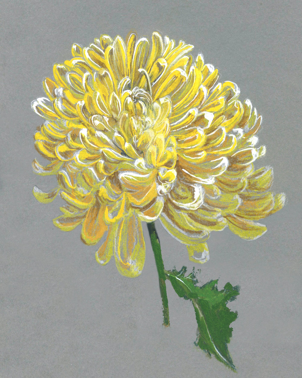 Yellow Mum. Polychromos pencil crayons and Artist's Gouache on Grey Paper
