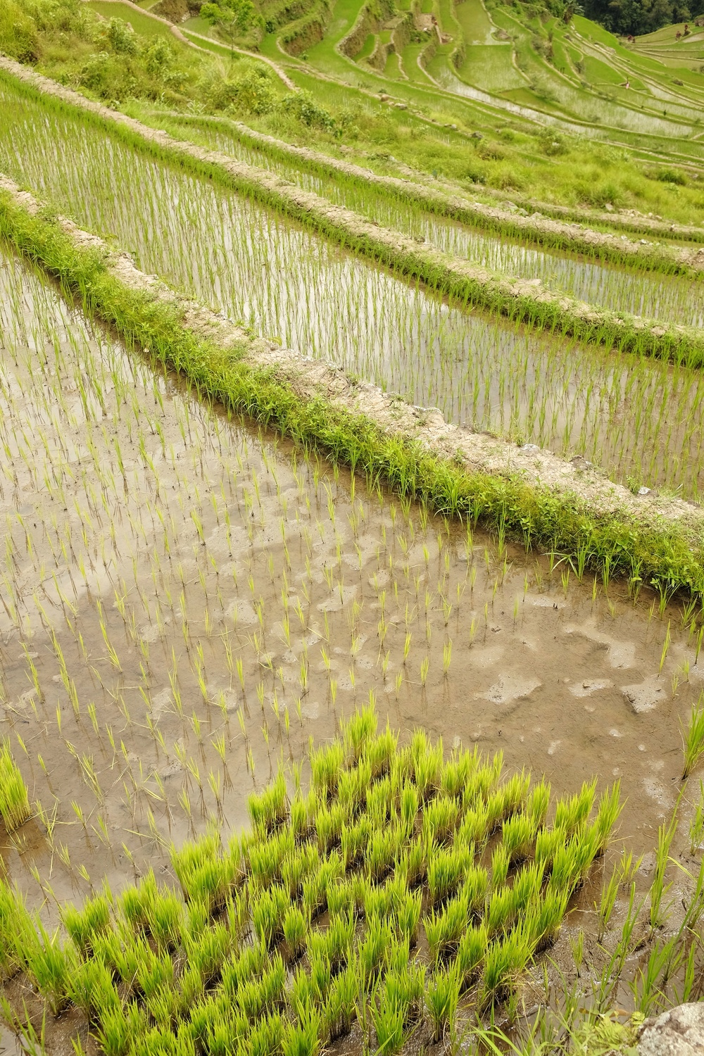 Rice clumps ready for transplanting and spreading out in the next step of the cultivation process.