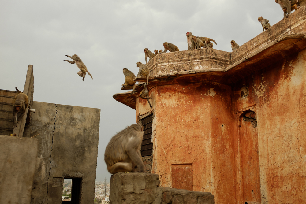 Flying macaques / Jaipur, India / May 2014