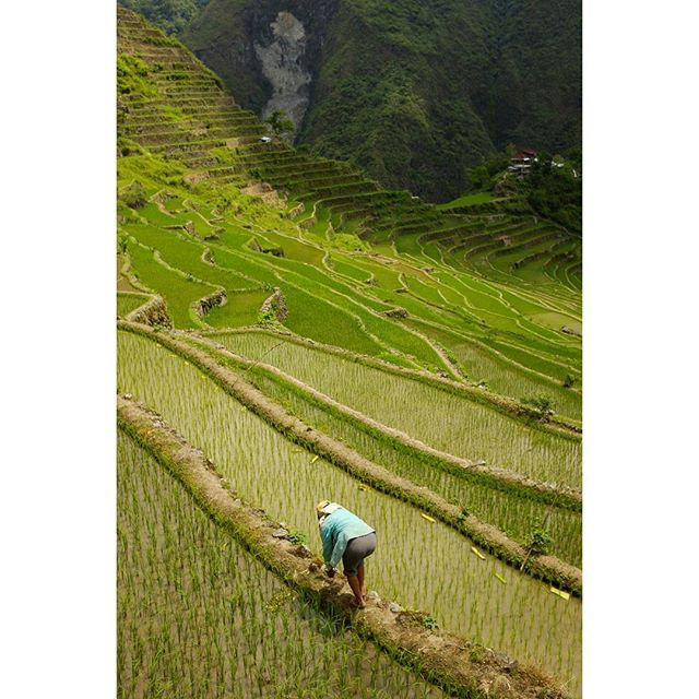 Throwback to hiking to the rice terraces of Batad in the northern Philippines. The views were quite literally breathtaking, having to navigate about 2000 feet of elevation change to get out of the amphitheater of rice fields and waterfall below Batad...😫 Worth every step. #tbt #travel #philippines