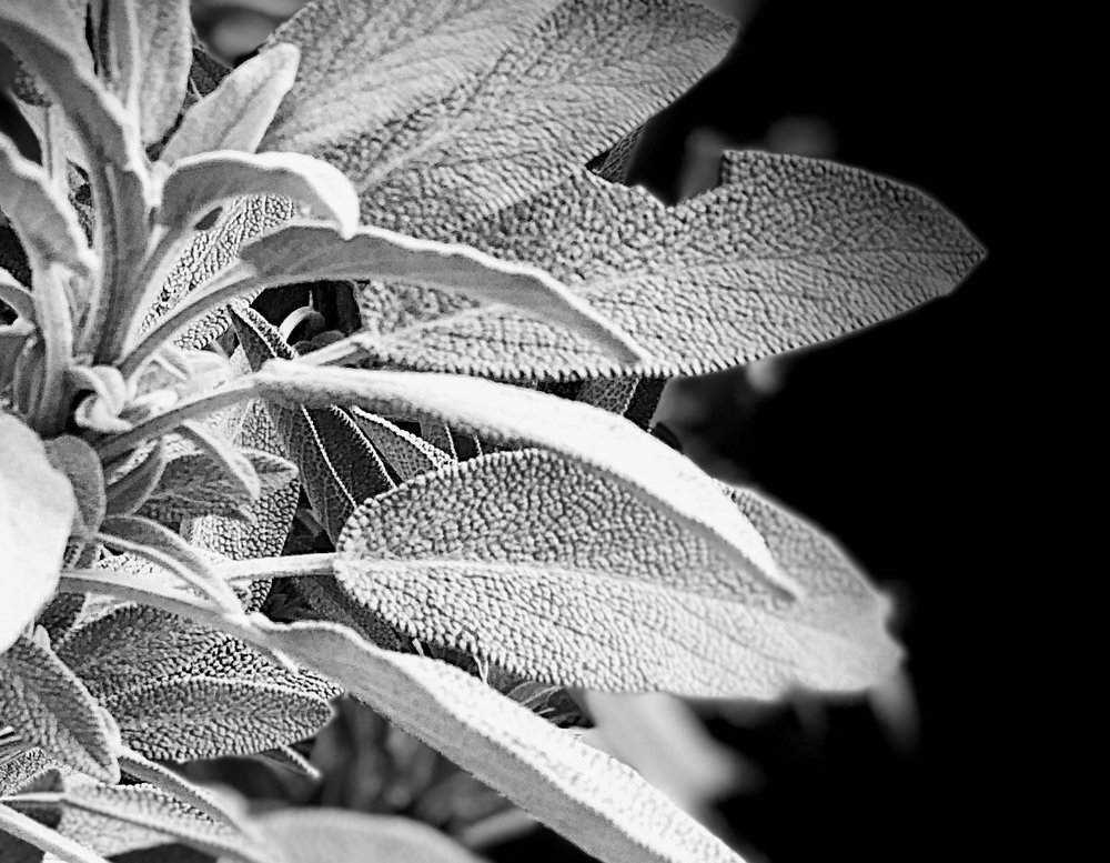 Sage plant, photographed with Portrait Stage Lighting. ©2017seanwalmsley