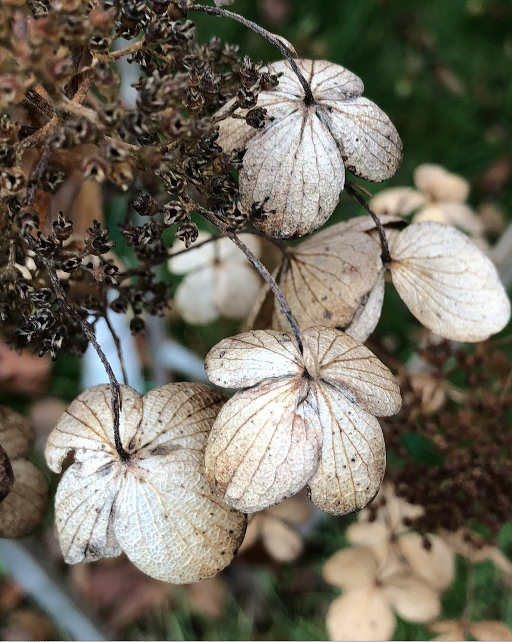 Iphone x photos seanwalmsleydesign hydrangea flowers turning toward the ground saratoga springs nynbspphoto mightylinksfo