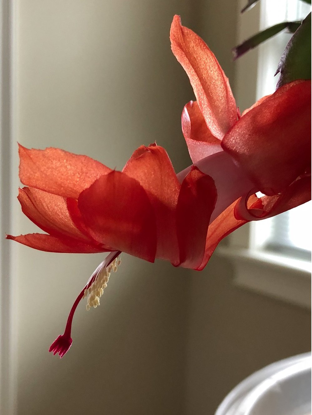 Christmas Cactus in bloom. Saratoga Springs, NY. photo ©2017seanwalmsley
