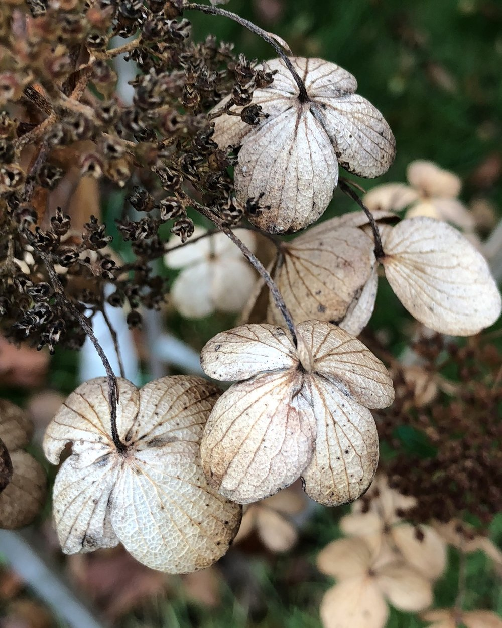 These are hydrangea flowers in the Fall. Having stood upright since blooming, in the Fall they face downwards, offering an opportunity capture their brittle stems and beautifully patterned undersides. It makes such a statement about the beauty of Fall colors, too. ©2017 Sean Walmsley;