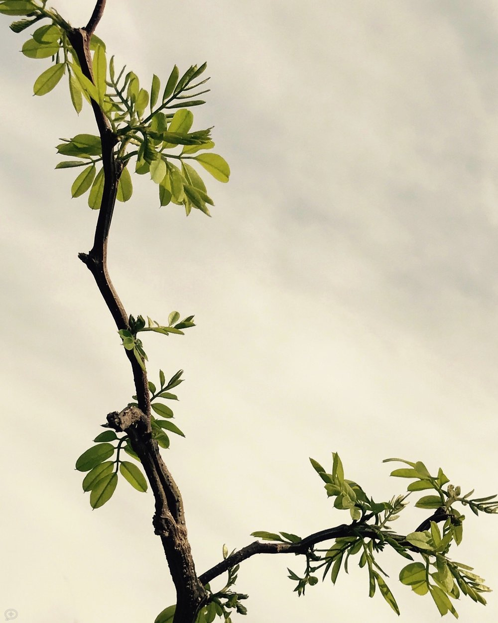 """I bought a baby twist locust for my garden several years ago, and after settling in with little growth for the first three years, now is making up for lost time. This is new growth in the spring, it puts out just a few leaves as it spurts upwards, then fills them in later. It is rightly called """"twist"""" because the branches go off in all directions. Not sure about the """"baby"""" because I've seen ones in England that are at least 80 feet high. What I like about this photo is its Asian look and feel—you could imagine it on a vase, or tapestry. ©2017 Sean Walmsley;"""