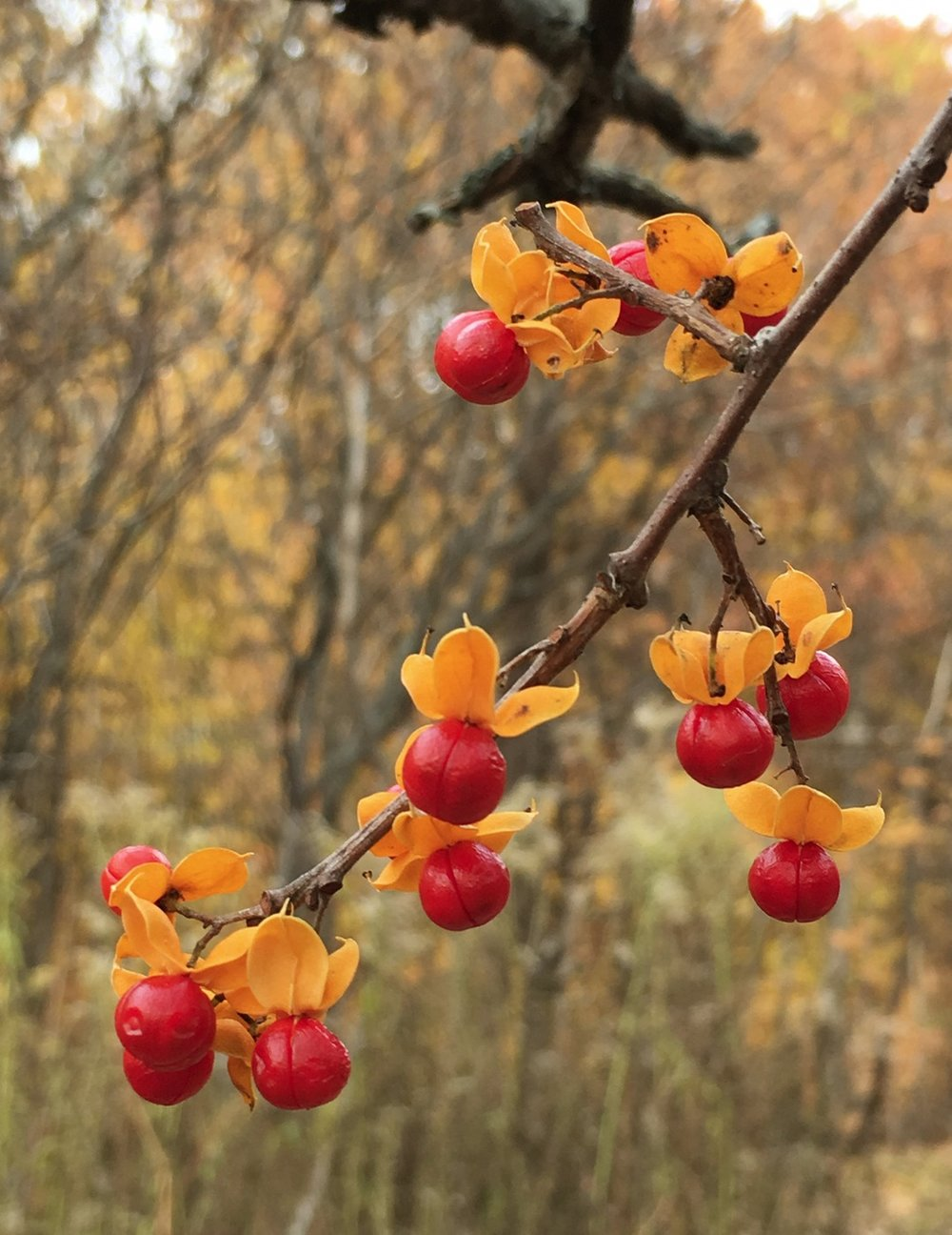 This was taken in the late fall in the North Woods of Skidmore College. I'm assuming it's a winter berry (although most of the wild winter berries seem to have much smaller berries, so it might not be). This one appealed to me not just for the coloration, but also for the design of the berries with their orangey leaves—almost getting ready to parachute down to the ground. How they weren't already eaten by birds amazes me. ©2017 Sean Walmsley;