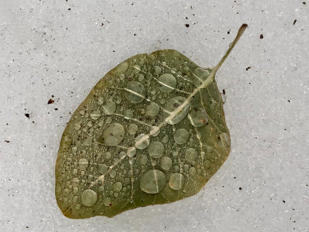 Another version of a leaf in the snow, just having been rained upon.