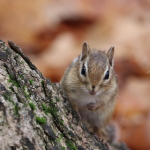 (Not in the exhibit, but in the North Woods of Skidmore College, this is where chipmunks should be. And no, this is NOT where I release them.)