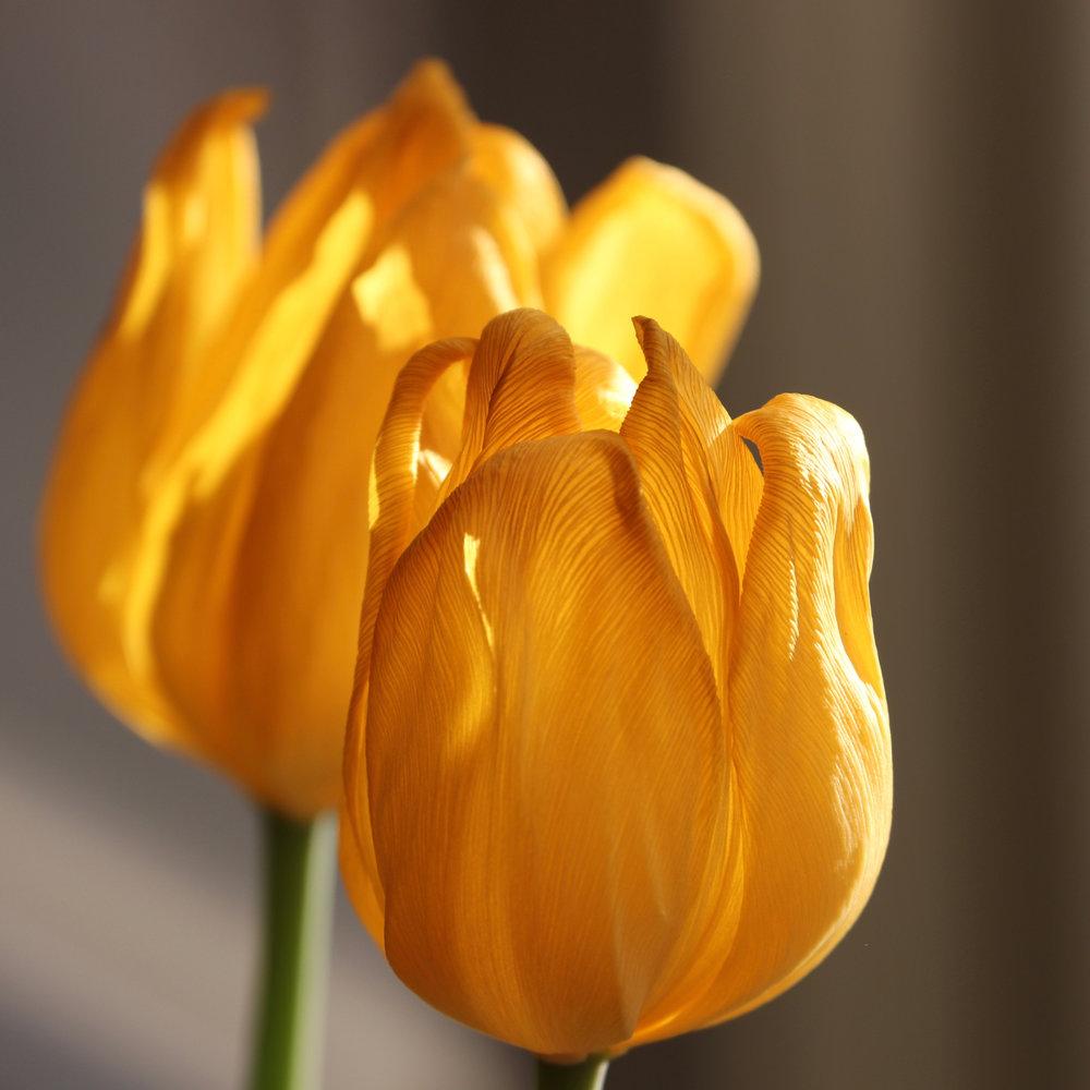 Tulips. ©2018 Sean Walmsley
