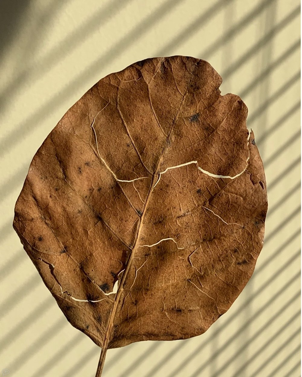 """4 . A Winter Leaf . iPhone XS, 2018. Saratoga Springs, NY.(Canvas Photo, 20"""" x 16""""). I'm particularly fond of photographing nature up close, and this leaf blew into my garage last November, so I held it up against a wall, with the shadow of a shade behind it.  ©2018 Sean Walmsley"""
