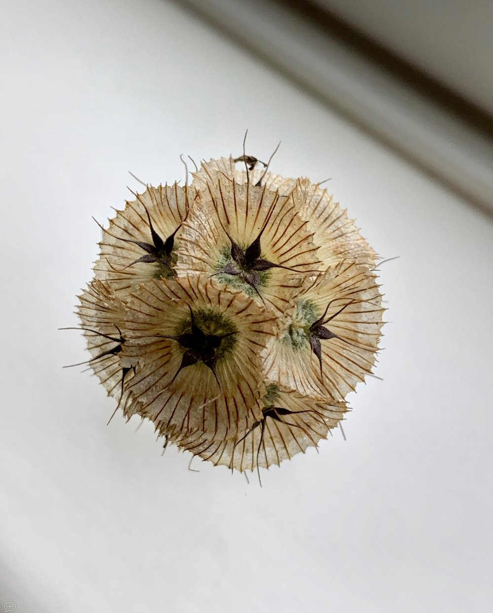 """5 . Dried Scabiosa Flower . iPhone XS, 2018. Saratoga Springs, NY.( Canvas Photo, 16"""" x 20""""). This flower measures less than an inch in diameter, but a close-up reveals such beautiful colors and patterns.  ©2018 Sean Walmsley"""