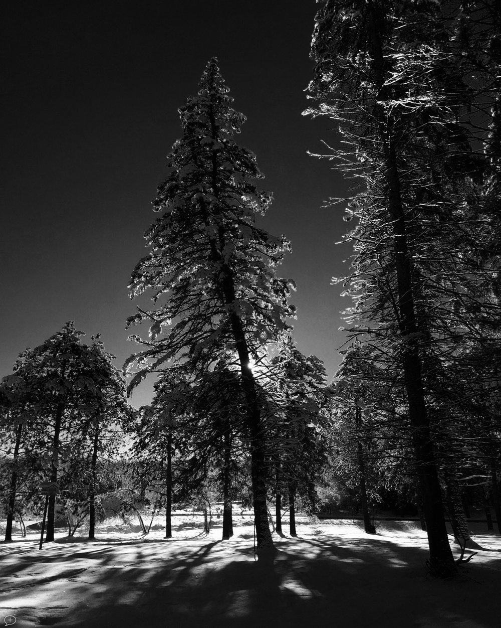 """19.  Pine Trees in Saratoga State Park,  iPhone 6, 2014. Saratoga Springs, NY. (Canvas Photo, 16"""" x 20,""""). In the winter months, the Farmers Market moves to the Lincoln Baths building in the State Park, and I try to get there early. When the sun is still low, and there's frost on the trees, it makes for an eerie black-and-white photo opportunity.  ©2014 Sean Walmsley"""