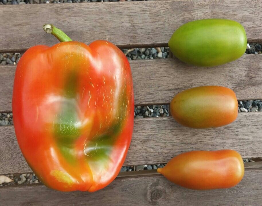 Groene tomaten smaken nog steeds prima in Italië.