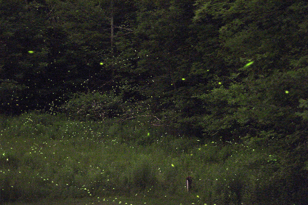 Fireflies at night, much like the souls Salim comes to see. Image credit: s58y, used with a Creative Commons license.