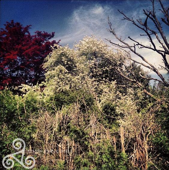 springtrees.jpg