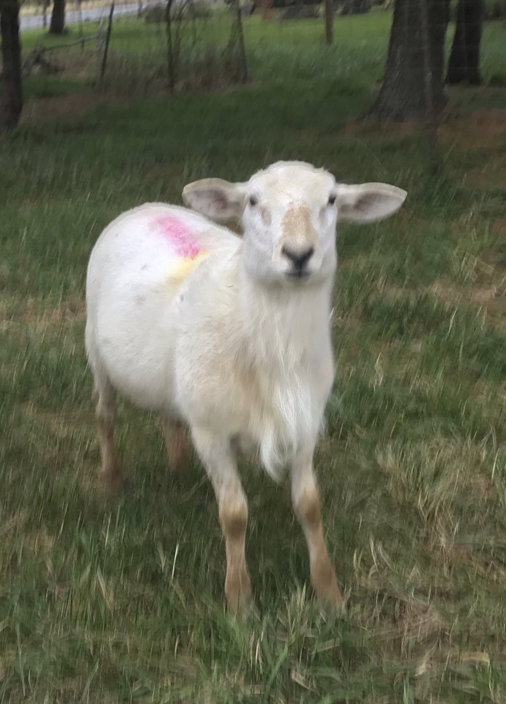 Rams for Sale — Voyageur Farm