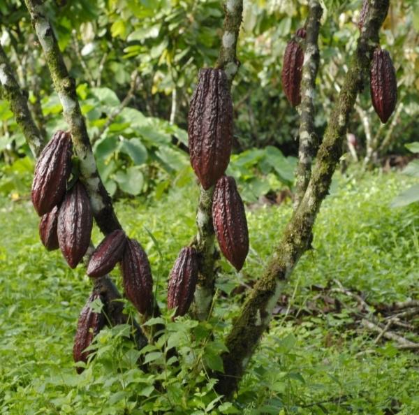 cosat rica cacao _DSC0023 (1).jpg