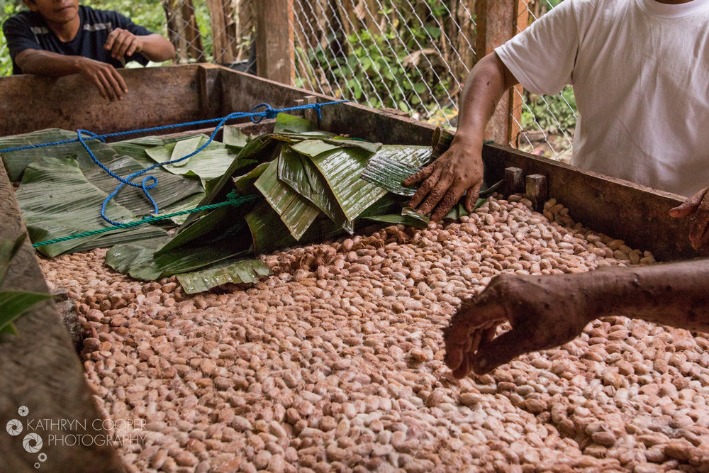 Fermenting and Drying the cacao