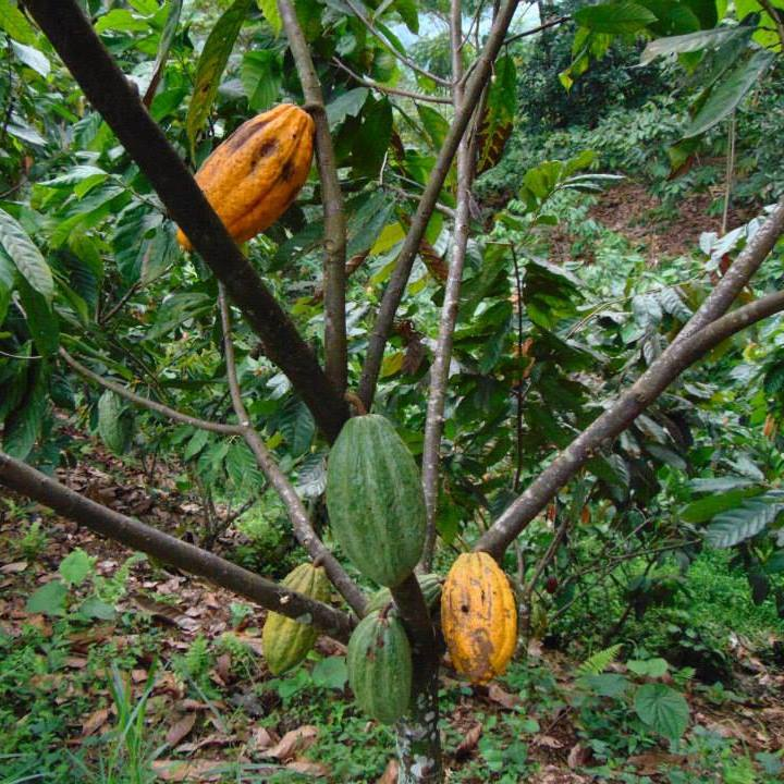 Cacao in the wild