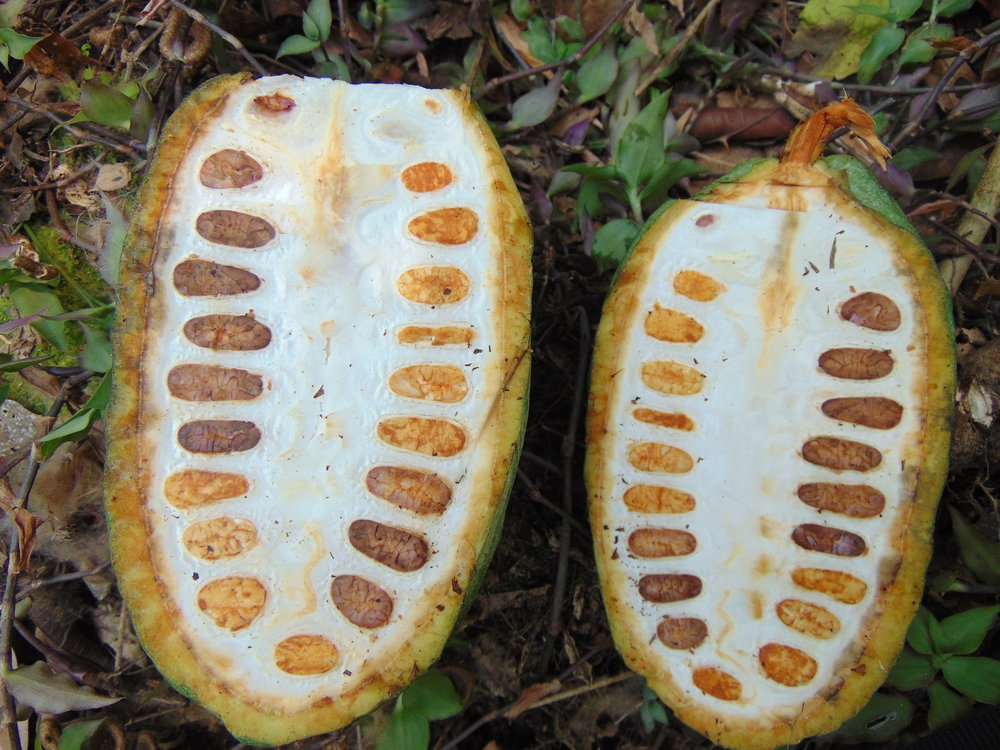Delicious cacao seeds in pulp